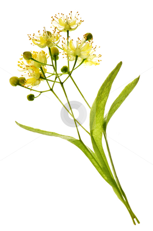 Linden flower stock photo, Isolated image of yellow linden flower and branch by Elena Elisseeva