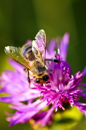 Honey bee on Knapweed stock photo, Close up of honey bee on knapweed flower by Elena Elisseeva