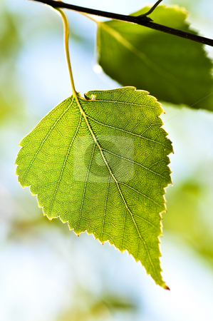 Branch with green leaves stock photo, Birch tree branch with green leaves closeup by Elena Elisseeva