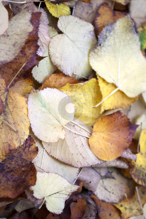 Leaves stock photo, Texture of fallen leaves of different colors by Fabio Alcini