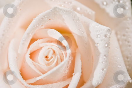 Rose stock photo, Nature serirs: macro picture of light rose by Gennady Kravetsky