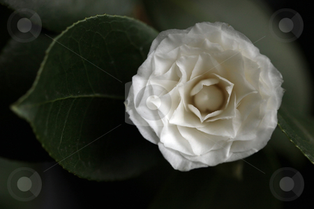 White Camelia Rose Offset With a Leaf stock photo, White Camelia Rose Offset With a Leaf in Soft Light by Katrina Brown
