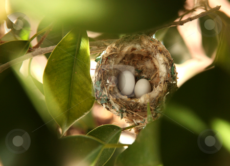 2 Hummingbird Eggs in a Nest stock photo, 2 Hummingbird Eggs in a Nest Hanging Among the Trees by Katrina Brown