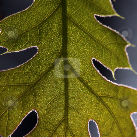 Extreme Close Up of a Leaf stock photo, Extreme Close Up of a Leaf Backlit by the Sun by Katrina Brown