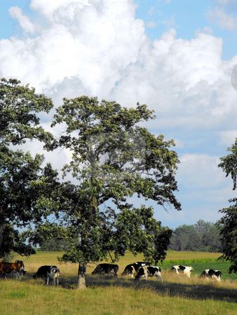 Dairy Cattle Grazing stock photo, A herd of dairy cattle graze on a field shaded by oak trees on a warm summer afternoon. by Dennis Thomsen