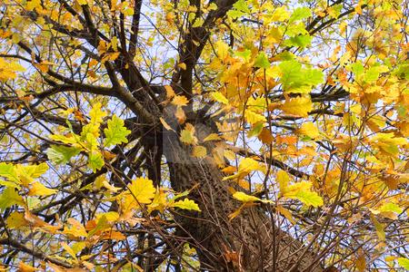 Autumnal oak under blue sky stock photo, Autumnal oak under blue sky by Sergey Plakhotin