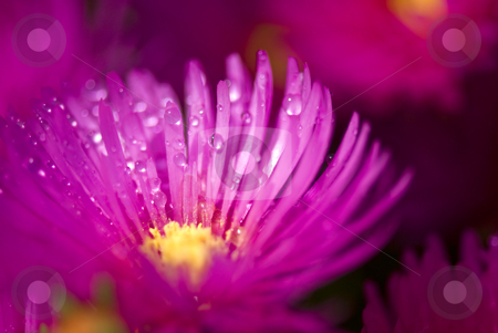 Wet pink flower stock photo, Pink flower with rain drops on it by Hein Schlebusch
