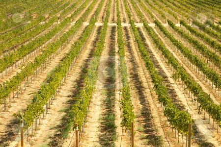 Beautiful Wine Vineyard stock photo, Beautiful Wine Vineyard in California, United States. by Andy Dean