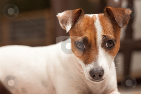 Jack Russell Terrier Puppy Portrait stock photo, Jack Russell Terrier Puppy Portrait with Narrow Depth of Field. by Andy Dean