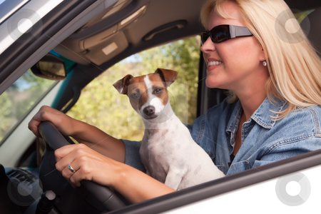 Jack Russell Terrier Enjoying a Car Ride stock photo, Jack Russell Terrier Dog Enjoying a Car Ride. by Andy Dean