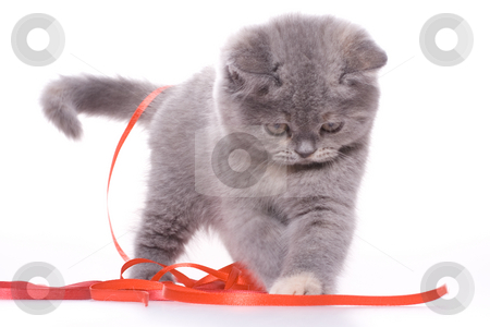 Little kitty stock photo, Little kitty with red ribbon on a white background by Artem Zamula