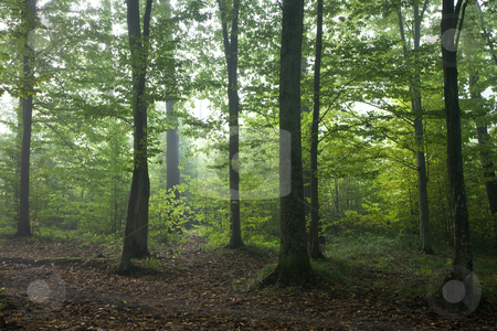 Oak and hornbeam trees against light of morning stock photo, Oak and hornbeam trees against light of morning in fall forest with path in front by Aleksander Bolbot