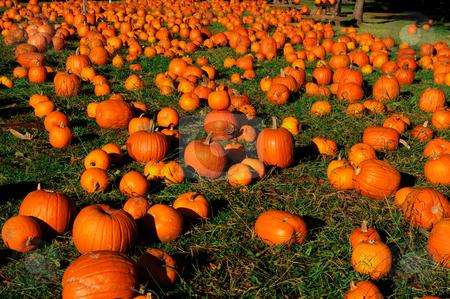 Pumpkin Patch stock photo, Hundreds of Autumn Pumpkins spread out across green grass ready for sale by Lynn Bendickson