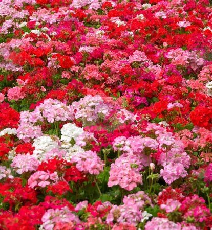Geraniums stock photo, Heaps of geraniums for a beautiful floral background by Phil Morley