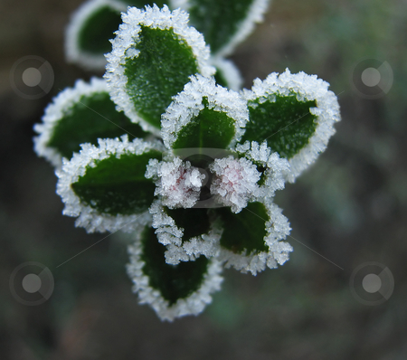 Frost on Escallonia stock photo, Frost on Escallonia Buds during winter by Susan Robinson