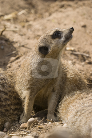 Meerkat stock photo, Close up of a Meerkat (suricata suricatta) by Stephen Meese