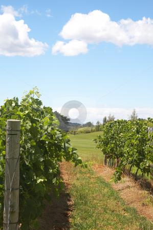 Ripening grapes in the vineyard stock photo, Ripening grapes in the vineyard on a summer day by Elena Weber (nee Talberg)