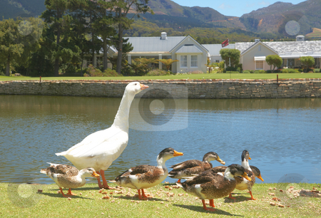 Group of ducks and goose stock photo, Group of ducks and goose eating bread crumbs next to the lake by Elena Weber (nee Talberg)