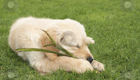 Small golden retriever puppy stock photo, Small obedient golden retriever puppy sleeping on the green grass holding a plant in his paws. Focus is on the front paw by Elena Weber (nee Talberg)