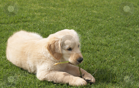 Small golden retriever puppy stock photo, Small obedient golden retriever puppy lying on the green grass holding a plant in his paws by Elena Weber (nee Talberg)