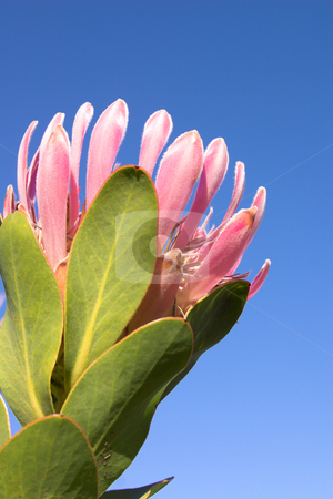 Protea stock photo, Pink Protea on blue sky background. Copy space. by Elena Weber (nee Talberg)