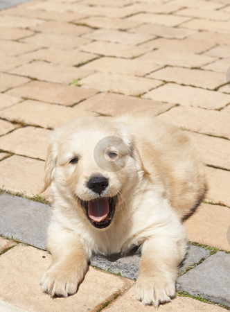 Small golden retriever puppy stock photo, Small obedient golden retriever puppy lying on the pavement. Focus is on paws by Elena Weber (nee Talberg)