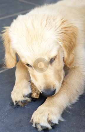 Small golden retriever puppy stock photo, Small obedient golden retriever puppy lying on the tiles chewing on a piece of wood by Elena Weber (nee Talberg)