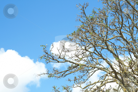 Tree against a sky in spring stock photo, Tree branches against a beautiful blue sky with cumulus clouds in spring by Elena Weber (nee Talberg)