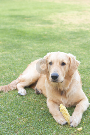 Golden retriever puppy stock photo, Obedient golden retriever puppy lying on the green grass holding a corn in his paws. by Elena Weber (nee Talberg)