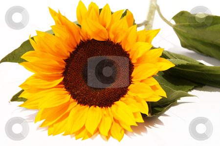 Beauty flower stock photo, Sunflower with green leaves on white background by Giuseppe Ramos