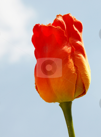 Flower stock photo, Orange flower over sky background. Beauty image by Giuseppe Ramos