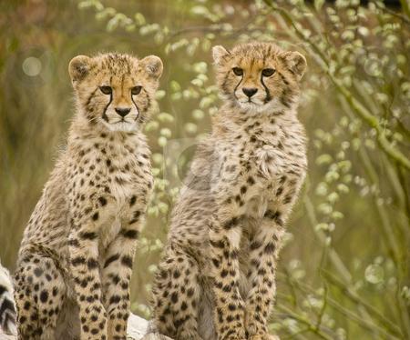 Cheetah stock photo, Close up of Cheetah (Acinonyx jubatus soemmeringii) by Stephen Meese