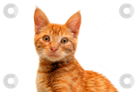 Isolated Orange Cat stock photo, An orange kitten with large round eyes isolated on a white background by Lynn Bendickson