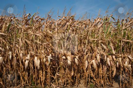 Corn stalks stock photo, Field of dried corn stalks by Jaime Pharr