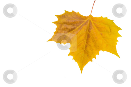 Beautiful golden leaves in autumn stock photo, Beautiful golden leaves in autumn by Julian Weber