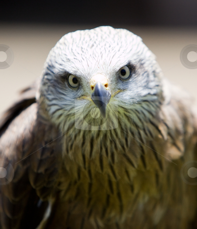 Bird of prey stock photo, Image of a bird of prey over a natural background by Ivan Montero