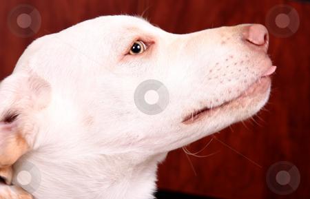 Dog stock photo, Golden retriever with green eyes. profile image by Giuseppe Ramos