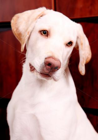 Dog stock photo, Golden retriever with green eyes. Animal image by Giuseppe Ramos