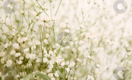 Little flowers stock photo, Small white flowers with green stem. nature image by Giuseppe Ramos