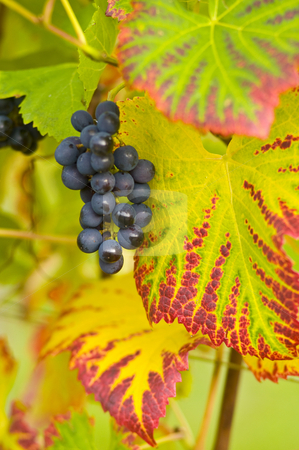 Luscious stock photo, Red grapes and colorful leaves by Herb Allgaier