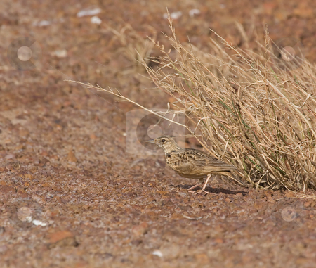 Crested Lark stock photo, Crested Lark at Pirang Shrimp Farm in The Gambia by Susan Robinson
