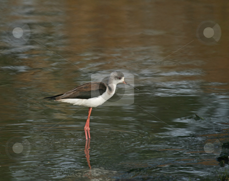 Black-winged Stilt stock photo, Black-winged Stilt at Kotu, The Gambia by Susan Robinson