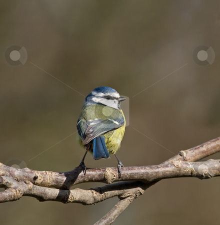 Blue Tit back view stock photo, Blue Tit back view by Susan Robinson