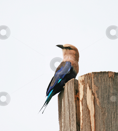 Blue-bellied Roller  stock photo, Blue-bellied Roller at Kotu in The Gambia by Susan Robinson
