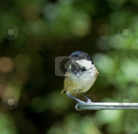 Coal Tit stock photo, Coal Tit on garden feeder in England by Susan Robinson
