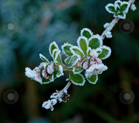 Frost on Flowers stock photo, Frost on Flowers during English winter by Susan Robinson