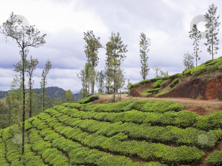 Tea plantation stock photo, Tea and shade trees in the hills of vythiri south india by Mike Smith