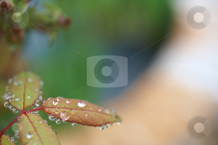 Wet leaves stock photo, Water drops on leaves after early morning rain by Sean Nel