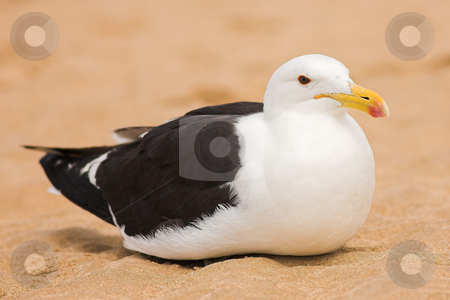 Seagull #13 stock photo, Cape Gull (Larus Vetula) brooding on a beach - Copy Space by Sean Nel
