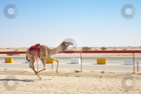 Robot camel racing stock photo, Robot controlled camel racing in the desert of Qatar, Middle East, on a sunny day. Fast moving, movement on extremities - focus on main body and saddle by Sean Nel
